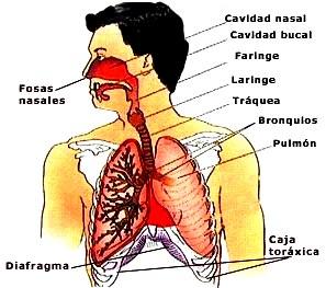 Gráfico del Aparato Respiratorio señalando partes