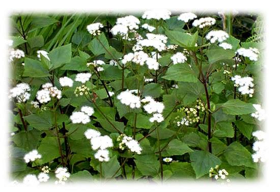Plantas venenosas - Abundância (Ageratina Adenophora)
