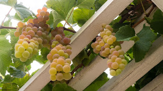 Flame Seedless Grapes Harvest