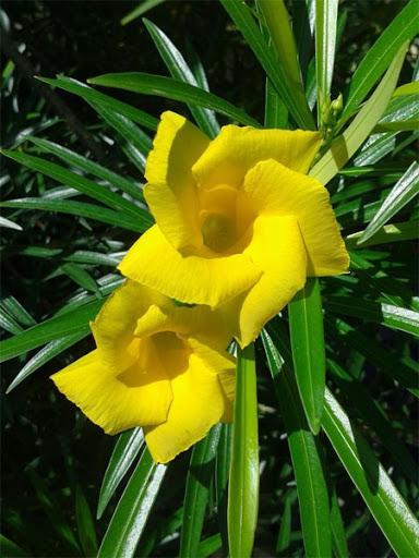 Thông thiên: Thevetia peruviana