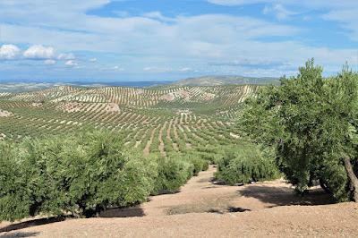 Olive Groves, Sierra Sur de Jaen,Spain