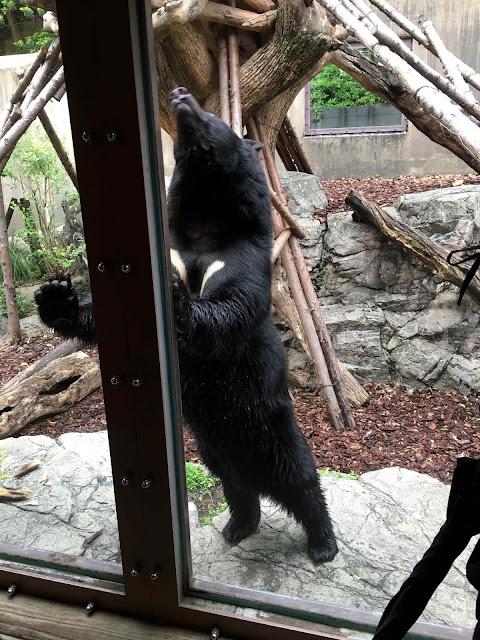 ハダカデバネズミや歩く植物??上野動物園で見逃せないなおすすめ動物8つ【n】  ツキノワグマ