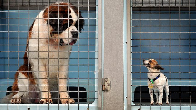 St Bernard and Jack Russell Terrier dogs locked in a council pound van