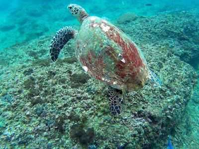 photo of a turtle during scuba diving on Phi Phi Lee