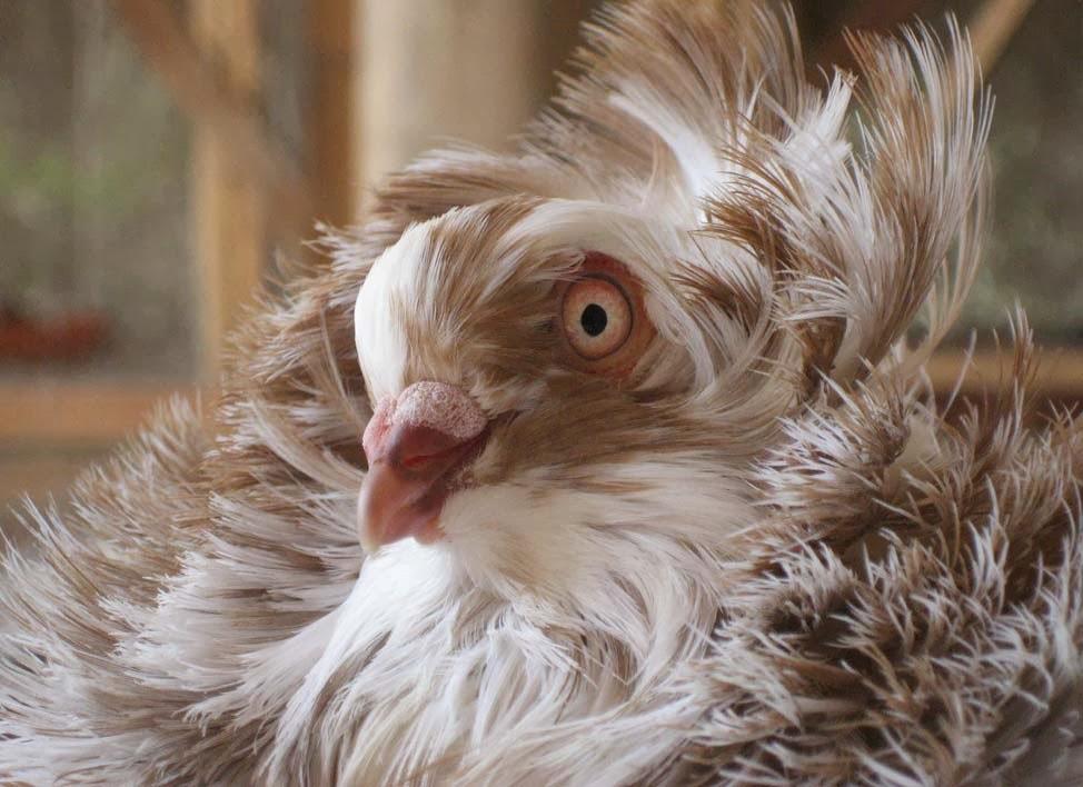 jacobin pigeon - photo #13