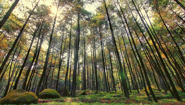 Menikmati Pesona Hutan Pinus Mangunan