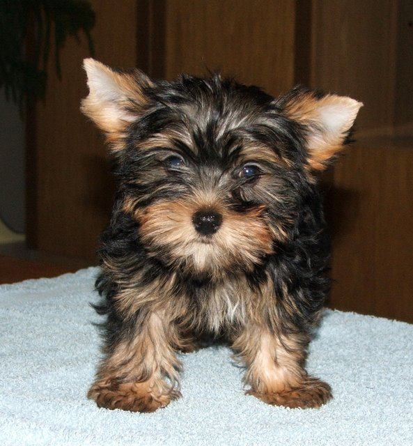 yorkie terrier pictures puppy gallery pictures 9142