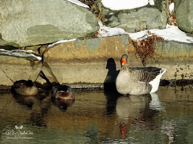 Goose & ducks