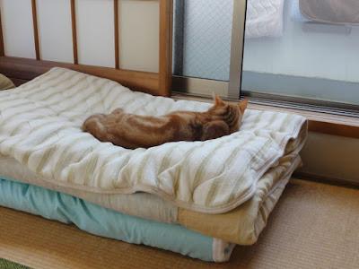 三つ折りにたたんだ布団の上で猫が横になって寝ています。