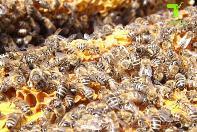 Mencegah Hama pengganggu lebah madu