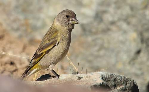 Thick-billed siskin female - Spinus crassirostris