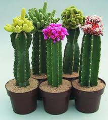 Budidaya Kaktus Mini Blog Newby