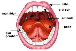 Inilah 6 Organ Sistem Pencernaan Manusia [Paling Lengkap]