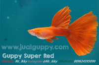 Jual Albino Full Red,  Harga Albino Full Red,  Toko Albino Full Red,  Diskon Albino Full Red,  Beli Albino Full Red,  Review Albino Full Red,  Promo Albino Full Red,  Spesifikasi Albino Full Red,  Albino Full Red Murah,  Albino Full Red Asli,  Albino Full Red Original,  Albino Full Red Jakarta,  Jenis Albino Full Red,  Budidaya Albino Full Red,  Peternak Albino Full Red,  Cara Merawat Albino Full Red,  Tips Merawat Albino Full Red,  Bagaimana cara merawat Albino Full Red,  Bagaimana mengobati Albino Full Red,  Ciri-Ciri Hamil Albino Full Red,  Kandang Albino Full Red,  Ternak Albino Full Red,  Makanan Albino Full Red,  guppy breeding Albino Full Red,  guppies for sale Albino Full Red,  guppy care Albino Full Red,  breeding guppies Albino Full Red,  male guppies Albino Full Red,  female guppies Albino Full Red,  guppy aquarium Albino Full Red,  baby guppies Albino Full Red,  poecilia reticulata Albino Full Red,  guppy tank Albino Full Red,  guppy fry Albino Full Red,  guppy giving birth Albino Full Red,  how long do guppies live Albino Full Red,  guppys Albino Full Red,  guppy guppy Albino Full Red,  guppy food Albino Full Red,  guppy breeding tank Albino Full Red,  fantail guppy Albino Full Red,  guppy breeds Albino Full Red,  guppy s Albino Full Red,  wild guppies Albino Full Red,  guppy babies Albino Full Red,  guppy varieties Albino Full Red,  freshwater guppies Albino Full Red,  guppy female Albino Full Red,  tropical guppies Albino Full Red,  female guppies for sale Albino Full Red,  guppy price Albino Full Red,  raising guppies Albino Full Red,  guppies for sale online Albino Full Red,  guppy info Albino Full Red,  buy guppies online Albino Full Red,  guppy sale Albino Full Red,  buy guppies Albino Full Red,  guppy diseases Albino Full Red,  guppies online Albino Full Red,  caring for guppies Albino Full Red,  best food for guppies Albino Full Red,  food for guppies Albino Full Red,  blue guppy Albino Full Red,  guppy breeding setup Albino Full Red,  guppy birth Albino Full Red,  guppy species Albino Full Red,  gestation period for guppies Albino Full Red,  guppys online Albino Full Red,  guppy care sheet Albino Full Red,  guppy blue Albino Full Red,  keeping guppies Albino Full Red,  guppies for sale cheap Albino Full Red,  the guppy Albino Full Red,  guppy breeding cycle Albino Full Red,  show guppies Albino Full Red,  thai guppy Albino Full Red,  male and female guppies Albino Full Red,  what to feed baby guppies Albino Full Red,  yellow guppy Albino Full Red,  guppy names Albino Full Red,  guppy gestation period Albino Full Red,  feeding guppies Albino Full Red,  guppy genetics Albino Full Red,  guppy show Albino Full Red,  turquoise guppy Albino Full Red,  guppy fry care Albino Full Red,  guppy games Albino Full Red,  guppy gestation Albino Full Red,  guppy colors Albino Full Red,  guppy tank setup Albino Full Red,  trinidadian guppies Albino Full Red,  guppies having babies Albino Full Red,  guppy strains Albino Full Red,  what do guppies eat Albino Full Red,  what to feed guppies Albino Full Red,  guppy life span Albino Full Red,  how to care for guppies Albino Full Red,  guppy male and female Albino Full Red,  what is a guppy Albino Full Red,  guppy natural habitat Albino Full Red,  german guppy Albino Full Red,  guppy poecilia reticulata Albino Full Red,  guppy images Albino Full Red,  images of guppies Albino Full Red,  fishguppy Albino Full Red,  guppy facts Albino Full Red,  how many babies do guppies have Albino Full Red,  how big do guppies get Albino Full Red,  how to take care of guppies Albino Full Red,  fan tailed guppies Albino Full Red,  guppy pregnant Albino Full Red,  guppy life cycle Albino Full Red,  temperature for guppies Albino Full Red,  what are guppies Albino Full Red,  guppies restaurant Albino Full Red,  guppy definition Albino Full Red,  guppy meaning Albino Full Red,  guppy size Albino Full Red,  define guppy Albino Full Red,  guppy wiki Albino Full Red,  how do guppies give birth Albino Full Red,  baby guppys Albino Full Red,  guppies bar Albino Full Red,  how many fry do guppies have Albino Full Red,  guppy behavior Albino Full Red,  how many babies does a guppy have Albino Full Red,  where do guppies come from Albino Full Red,  how do guppies reproduce Albino Full Red,  what does guppy mean Albino Full Red,  what is guppy Albino Full Red,  types of guppy Albino Full Red,  guppy guppies Albino Full Red,  guppy house hours Albino Full Red,  guppys on the go Albino Full Red,  guppys restaurant Albino Full Red,  guppies definition Albino Full Red,  do guppies eat their babies Albino Full Red,  gestation guppy Albino Full Red,  bubble guppies Albino Full Red,  guppy Albino Full Red,  Albino Full Red Jakarta,  Albino Full Red Bandung,  Albino Full Red Medan,  Albino Full Red Bali,  Albino Full Red Makassar,  Albino Full Red Jambi,  Albino Full Red Pekanbaru,  Albino Full Red Palembang,  Albino Full Red Sumatera,  Albino Full Red Langsa,  Albino Full Red Lhokseumawe,  Albino Full Red Meulaboh,  Albino Full Red Sabang,  Albino Full Red Subulussalam,  Albino Full Red Denpasar,  Albino Full Red Pangkalpinang,  Albino Full Red Cilegon,  Albino Full Red Serang,  Albino Full Red Tangerang Selatan,  Albino Full Red Tangerang,  Albino Full Red Bengkulu,  Albino Full Red Gorontalo,  Albino Full Red Kota Administrasi Jakarta Barat,  Albino Full Red Kota Administrasi Jakarta Pusat,  Albino Full Red Kota Administrasi Jakarta Selatan,  Albino Full Red Kota Administrasi Jakarta Timur,  Albino Full Red Kota Administrasi Jakarta Utara,  Albino Full Red Sungai Penuh,  Albino Full Red Jambi,  Albino Full Red Bandung,  Albino Full Red Bekasi,  Albino Full Red Bogor,  Albino Full Red Cimahi,  Albino Full Red Cirebon,  Albino Full Red Depok,  Albino Full Red Sukabumi,  Albino Full Red Tasikmalaya,  Albino Full Red Banjar,  Albino Full Red Magelang,  Albino Full Red Pekalongan,  Albino Full Red Purwokerto,  Albino Full Red Salatiga,  Albino Full Red Semarang,  Albino Full Red Surakarta,  Albino Full Red Tegal,  Albino Full Red Batu,  Albino Full Red Blitar,  Albino Full Red Kediri,  Albino Full Red Madiun,  Albino Full Red Malang,  Albino Full Red Mojokerto,  Albino Full Red Pasuruan,  Albino Full Red Probolinggo,  Albino Full Red Surabaya,  Albino Full Red Pontianak,  Albino Full Red Singkawang,  Albino Full Red Banjarbaru,  Albino Full Red Banjarmasin,  Albino Full Red Palangkaraya,  Albino Full Red Balikpapan,  Albino Full Red Bontang,  Albino Full Red Samarinda,  Albino Full Red Tarakan,  Albino Full Red Batam,  Albino Full Red Tanjungpinang,  Albino Full Red Bandar Lampung,  Albino Full Red Kotabumi,  Albino Full Red Liwa,  Albino Full Red Metro,  Albino Full Red Ternate,  Albino Full Red Tidore Kepulauan,  Albino Full Red Ambon,  Albino Full Red Tual,  Albino Full Red Bima,  Albino Full Red Mataram,  Albino Full Red Kupang,  Albino Full Red Sorong,  Albino Full Red Jayapura,  Albino Full Red Dumai,  Albino Full Red Pekanbaru,  Albino Full Red Makassar,  Albino Full Red Palopo,  Albino Full Red Parepare,  Albino Full Red Palu,  Albino Full Red Bau-Bau,  Albino Full Red Kendari,  Albino Full Red Bitung,  Albino Full Red Kotamobagu,  Albino Full Red Manado,  Albino Full Red Tomohon,  Albino Full Red Bukittinggi,  Albino Full Red Padang,  Albino Full Red Padangpanjang,  Albino Full Red Pariaman,  Albino Full Red Payakumbuh,  Albino Full Red Sawahlunto,  Albino Full Red Solok,  Albino Full Red Lubuklinggau,  Albino Full Red Pagaralam,  Albino Full Red Palembang,  Albino Full Red Prabumulih,  Albino Full Red Binjai,  Albino Full Red Medan,  Albino Full Red Padang Sidempuan,  Albino Full Red Pematangsiantar,  Albino Full Red Sibolga,  Albino Full Red Tanjungbalai,  Albino Full Red Tebingtinggi,  Albino Full Red Yogyakarta,