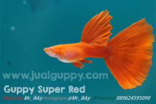 Jual Guppy Albino Super Full Red,  Harga Guppy Albino Super Full Red,  Toko Guppy Albino Super Full Red,  Diskon Guppy Albino Super Full Red,  Beli Guppy Albino Super Full Red,  Review Guppy Albino Super Full Red,  Promo Guppy Albino Super Full Red,  Spesifikasi Guppy Albino Super Full Red,  Guppy Albino Super Full Red Murah,  Guppy Albino Super Full Red Asli,  Guppy Albino Super Full Red Original,  Guppy Albino Super Full Red Jakarta,  Jenis Guppy Albino Super Full Red,  Budidaya Guppy Albino Super Full Red,  Peternak Guppy Albino Super Full Red,  Cara Merawat Guppy Albino Super Full Red,  Tips Merawat Guppy Albino Super Full Red,  Bagaimana cara merawat Guppy Albino Super Full Red,  Bagaimana mengobati Guppy Albino Super Full Red,  Ciri-Ciri Hamil Guppy Albino Super Full Red,  Kandang Guppy Albino Super Full Red,  Ternak Guppy Albino Super Full Red,  Makanan Guppy Albino Super Full Red,  Guppy Albino Super Full Red Termahal,  Adopsi Guppy Albino Super Full Red,  Jual Cepat Guppy Albino Super Full Red,  Kreatif Guppy Albino Super Full Red,  Desain Guppy Albino Super Full Red,  Order Guppy Albino Super Full Red,  Kado Guppy Albino Super Full Red,  Cara Buat Guppy Albino Super Full Red,  Pesan Guppy Albino Super Full Red,  Wisuda Guppy Albino Super Full Red,  Ultah Guppy Albino Super Full Red,  Nikah Guppy Albino Super Full Red,  Wedding Guppy Albino Super Full Red,  Flanel Guppy Albino Super Full Red,  Special Guppy Albino Super Full Red,  Suprise Guppy Albino Super Full Red,  Anniversary Guppy Albino Super Full Red,  Moment Guppy Albino Super Full Red,  Istimewa  Guppy Albino Super Full Red,  Kasih Sayang  Guppy Albino Super Full Red,  Valentine  Guppy Albino Super Full Red,  Tersayang Guppy Albino Super Full Red,  Unik Guppy Albino Super Full Red,