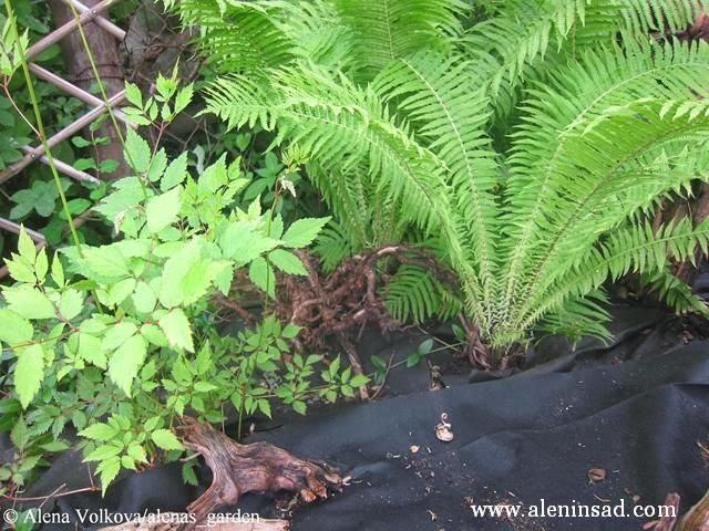 папоротник, астильба, спанбонд, лутрасил, агроволокно, агротекс, нетканый материал, против сорняков, использование в огороде