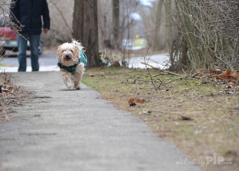 Ruby takes her final walk before grooming.