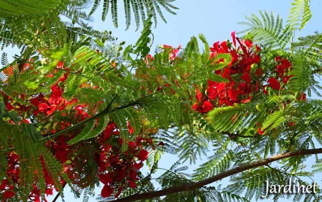 Detalhes das folhas do Flamboyant