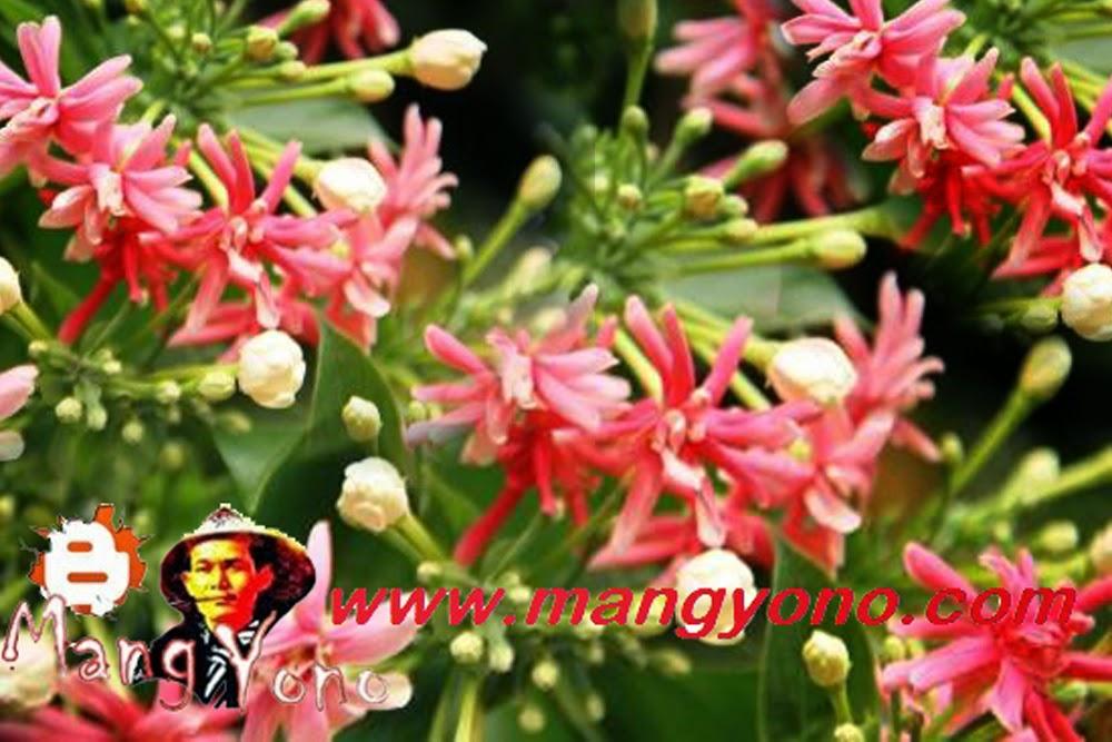 Bunga Melati Merah, Melati Belanda , Melati India, Jasmine sambac di Rumah saya