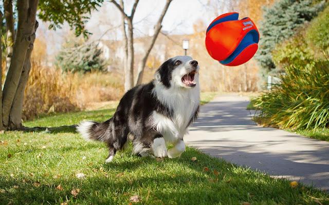 Hond speelt met grote bal