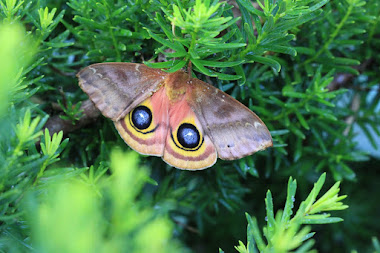 Unusual Io Moth