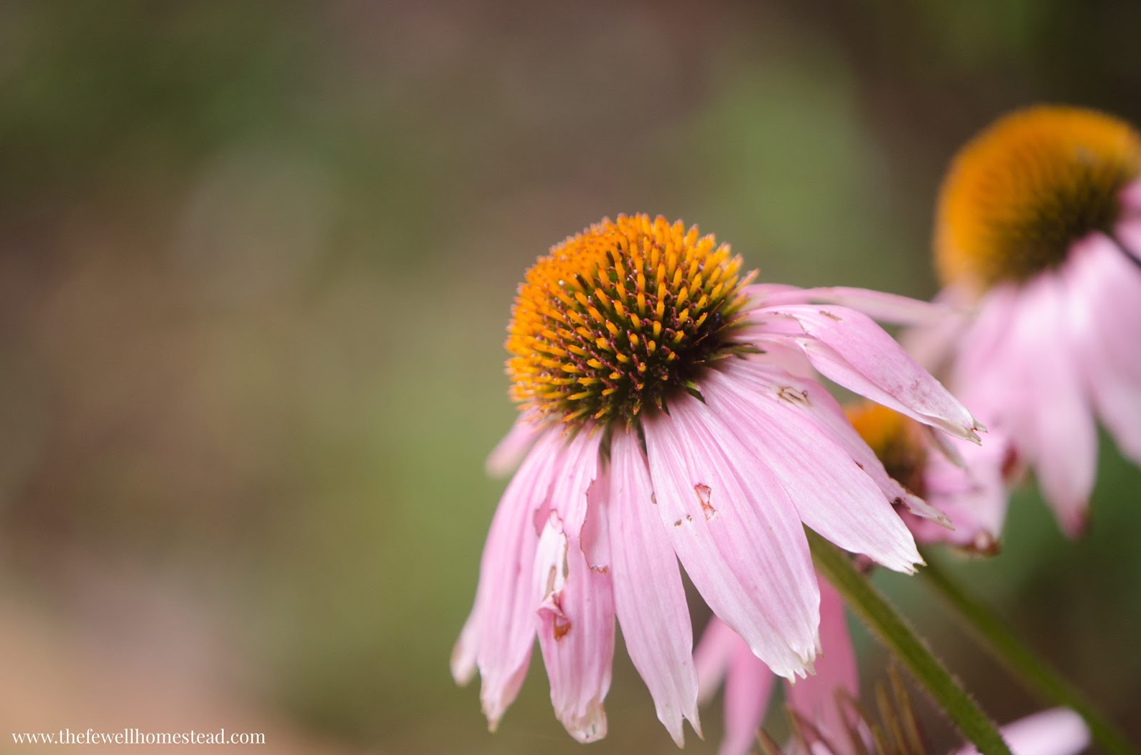 Starting a medicinal herb garden when you begin your homesteading journey you typically start because you want to become more self sufficient it often looks like getting a few chickens izmirmasajfo