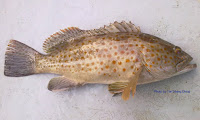 Duskytail Grouper