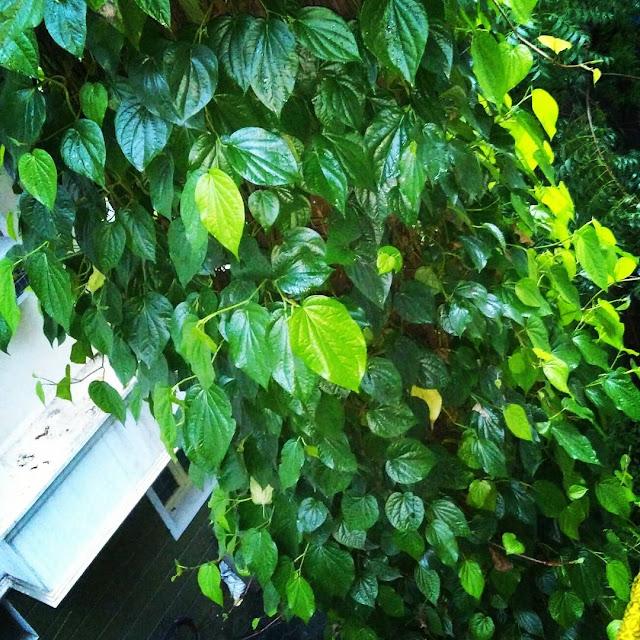 Khasiat daun sirih untuk mengobati batuk dan tenggorokan sakit