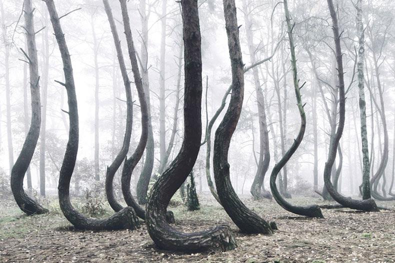 Un bosque místico de 400 árboles extrañamente doblados crecen en Polonia