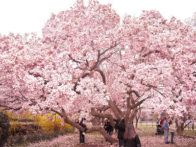 Magnolia Blossoms Washington DC