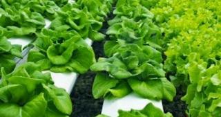 Sayuran berdaun hijau seperti kangkung, sawi dan juga bayam dapat di tanam secara Hidroponik. Tidak kalah dengan selada, sayuran hijau akan tumbuh baik ketika ditanam dengan cara hidroponik.