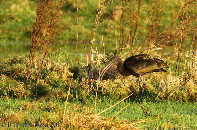 Glossy Ibis at Ely