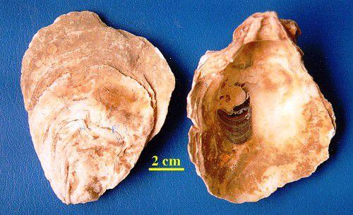 Mẫu Lệ - Ostrea sp - Nguyên liệu làm thuốc Chữa Đau Dạ Dày