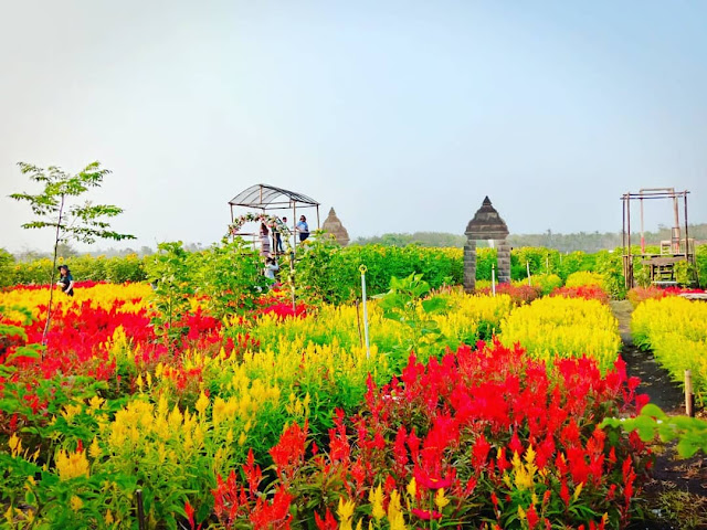 Tempat wisata Taman Bunga Celosia Gunungkidul Yogyakarta