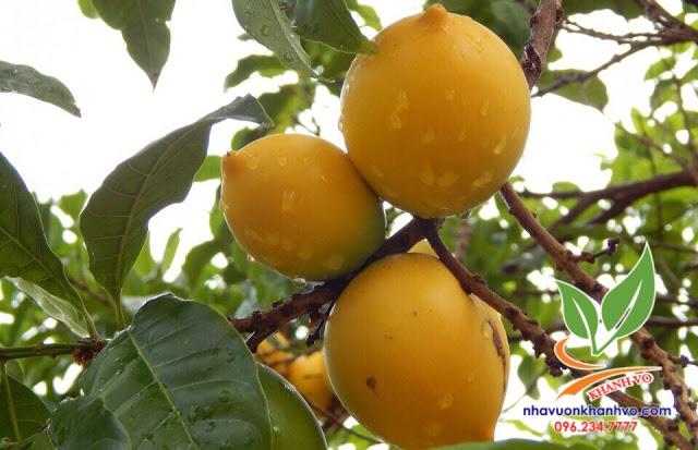 Vú sữa Hoàng Kim giúp người nông dân hái trái vàng