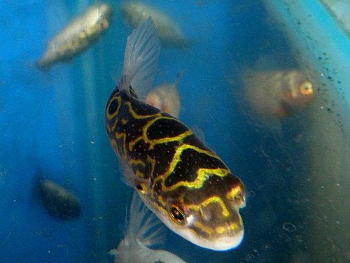 金魚快訊部落格Goldfish message blog: 市售娃娃河魨系列圖鑑(Puffer fish series illustrations)