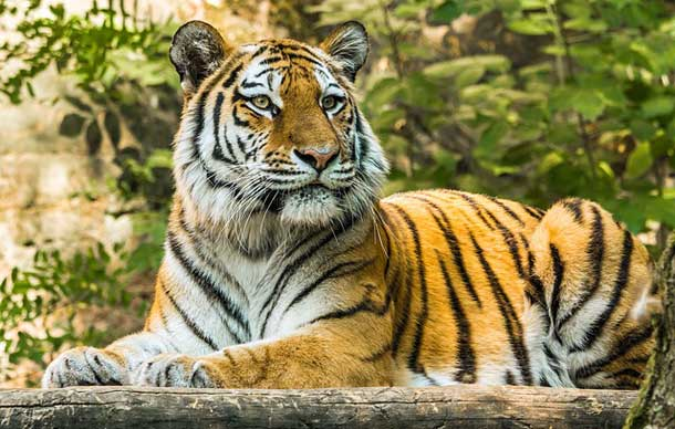 information about Tiger in Hindi