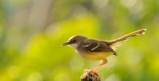 Semua Macam Jenis Burung Ciblek Lengkap dengan Gambar, Semua Macam Jenis Burung Ciblek Lengkap dengan Gambar Jenis, Download MP3 Suara Burung Ciblek / Prenjak Gacor Ngebren untuk