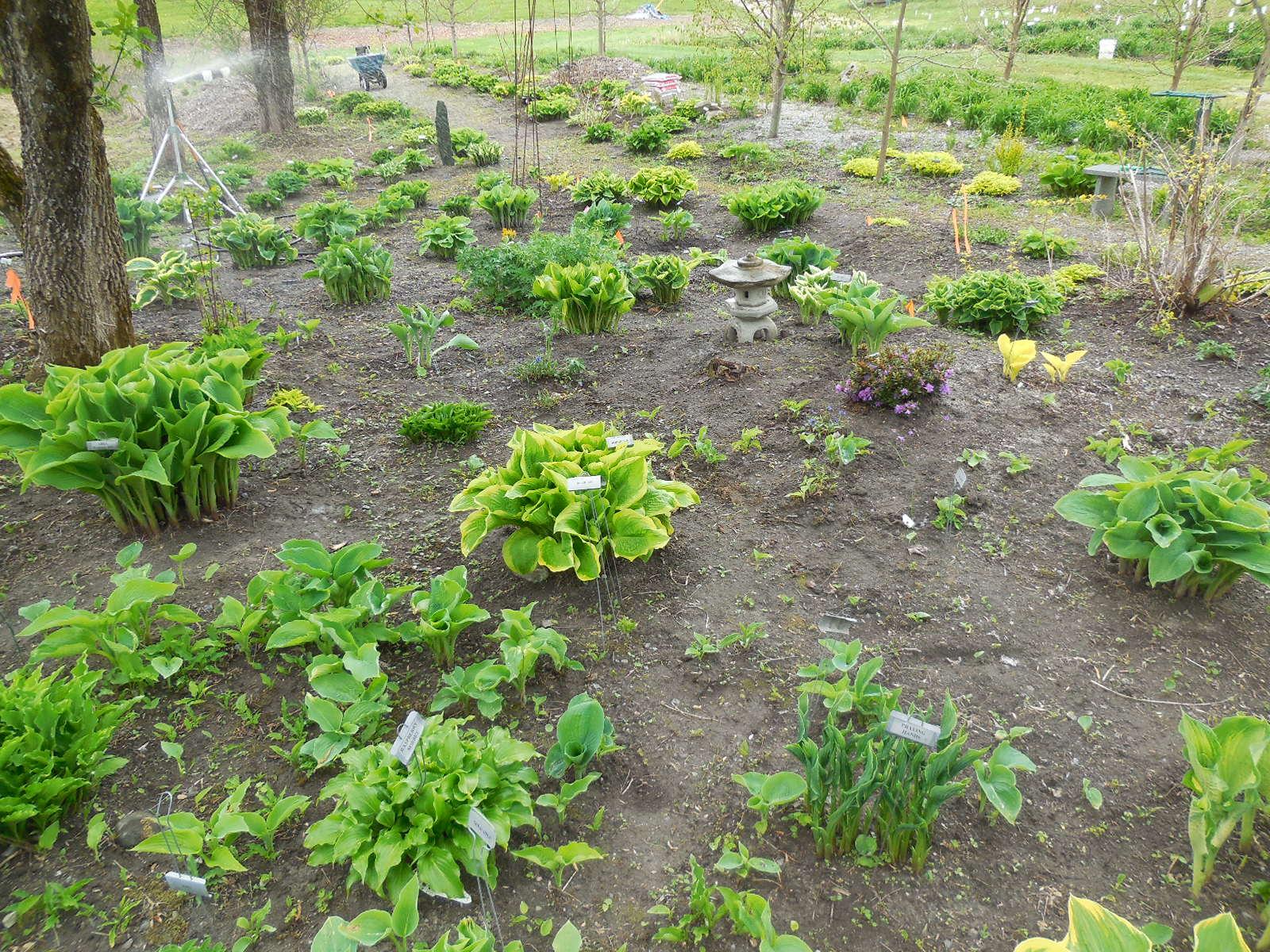 The Vermont Gardener Spacing Hostas
