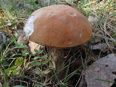 grzyby 2016, grzyby w październiku, grzyby na Orawie, jesienny wyjazd weekendowy, jesień pod Babią Górą,