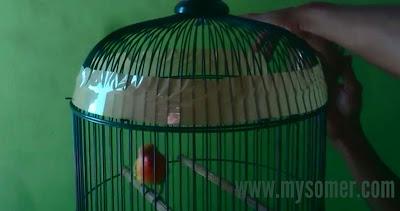 Cara mengatasi lovebird ngekek merayap di jeruji