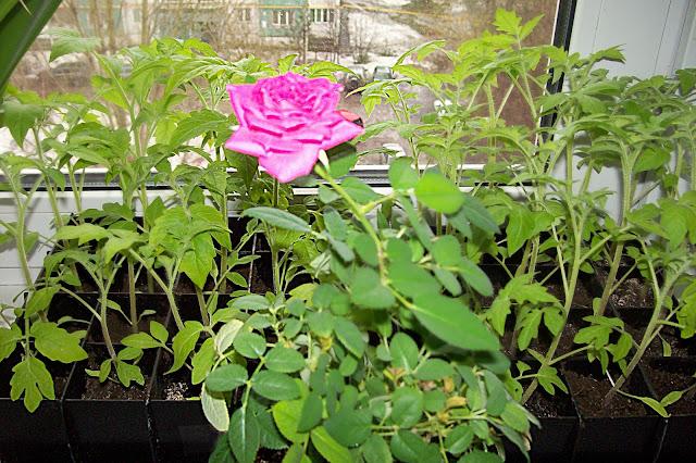рассада помидор и цветущая роза