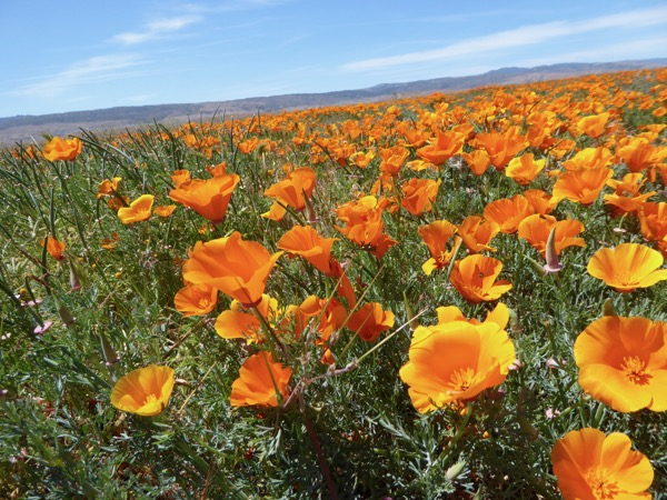 Poppies Antelope Valley