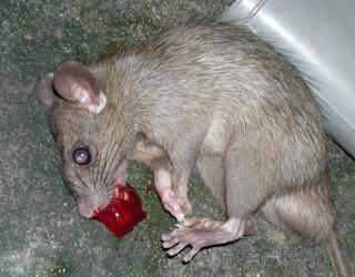 4 Penyebab utama Banyak Tikus di dalam Rumah
