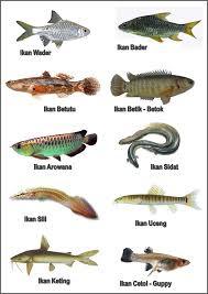 Gambar 17 Nama Jenis Ikan Laut Konsumsi Populer Indonesia Dunia Kerapu Di Rebanas Rebanas