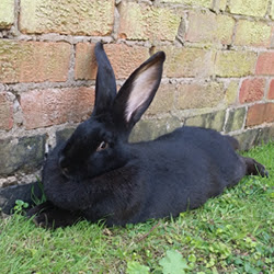 British giant rabbit breed
