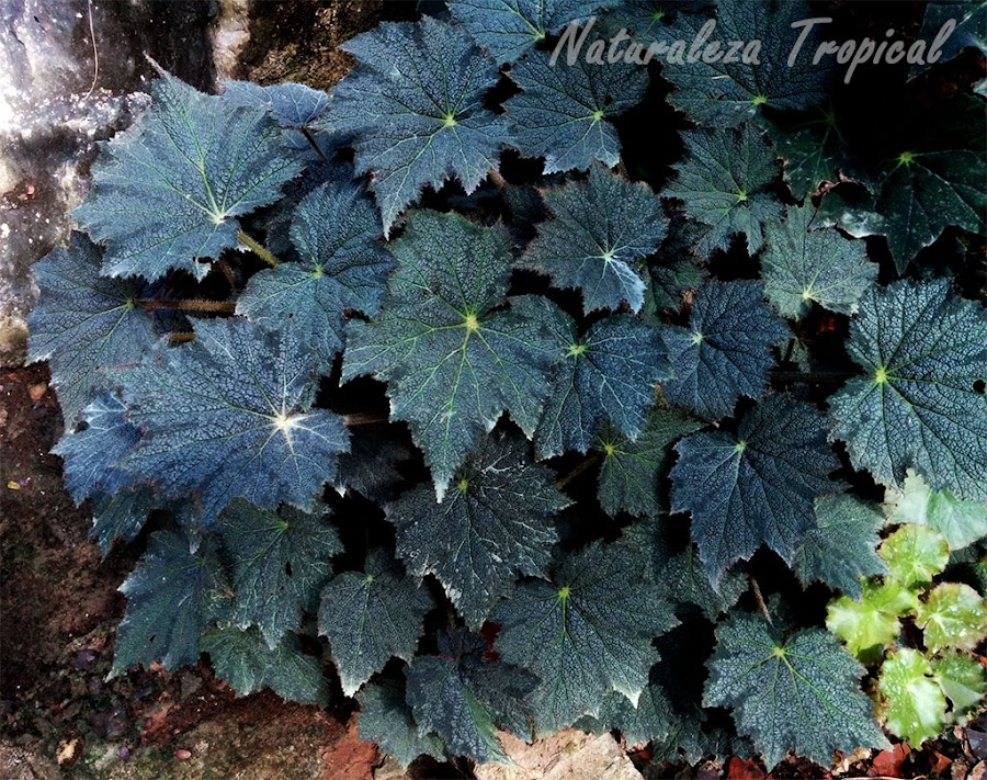 Hojas hermosas de una begonia
