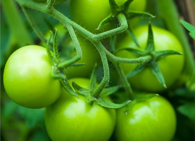 Το μήλο και η πράσινη ντομάτα αντιστρέφουν τη γήρανση των μυών