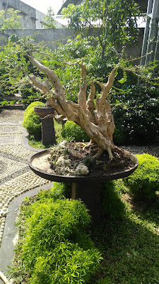 TIPS & TRICK PROSES TRAINING / PENYEMPURNAAN BONSAI