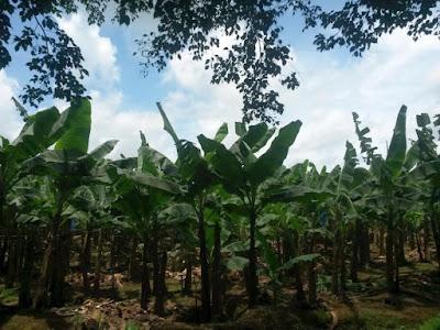 Bananos en Costa Rica